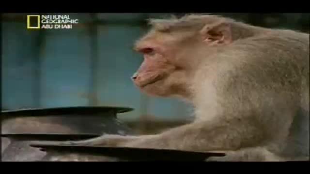 دزدی كردن میمون ها (فوق العاده زیبا و خنده دا