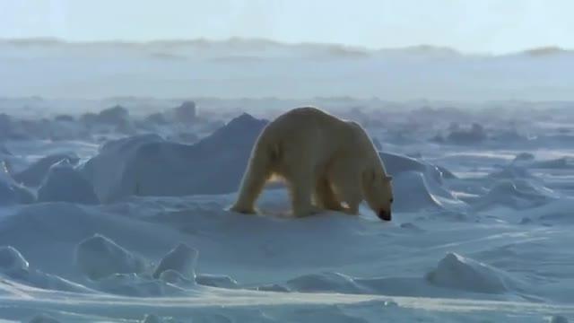 شکار فوک توسط خرس قطبی